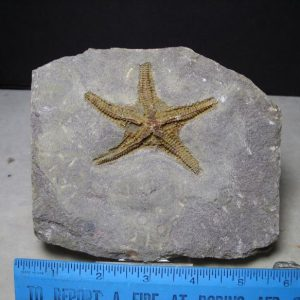 fossil starfish