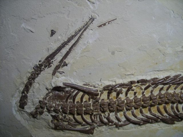 Mesosaurus fossils