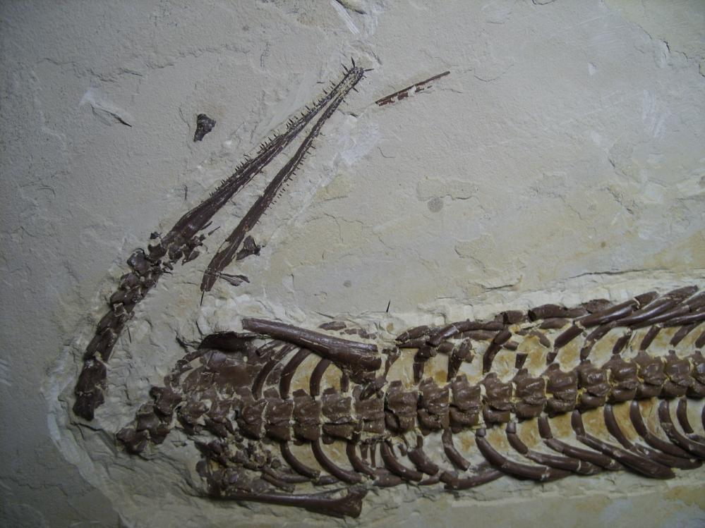 Mesosaurus Fossil (062517c) | The Stones Bones Collection ...