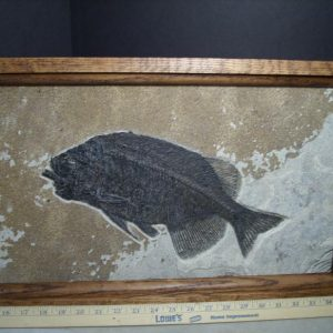 phareodus fish