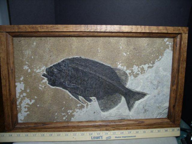 phareodus fish
