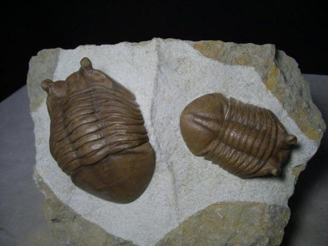 Russian Trilobites