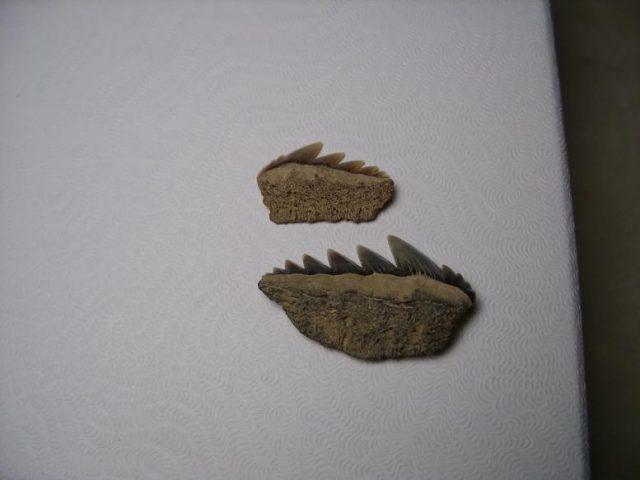 Seven Gill Shark Teeth