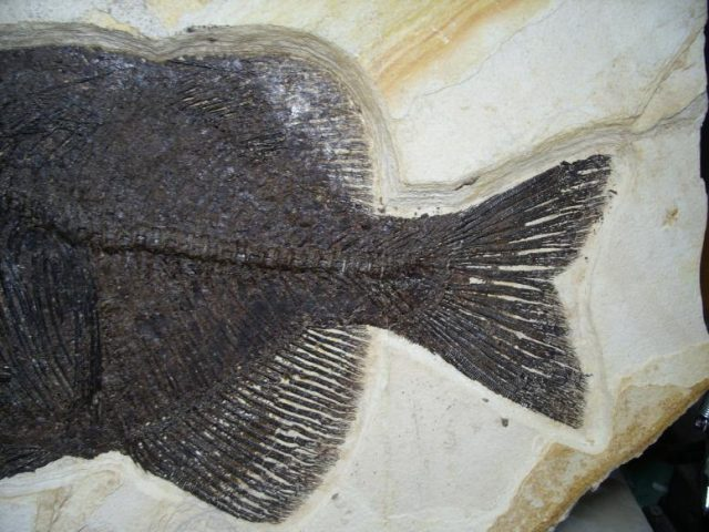 Phareodus Fossil Fish