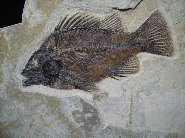 Priscacara Fish