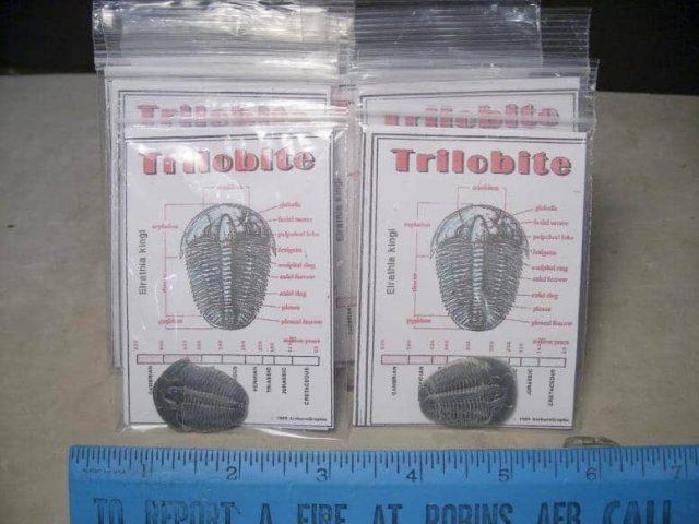 Elrathia Trilobite
