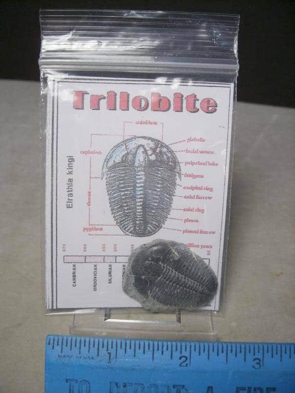 Elrathia Trilobite fossils