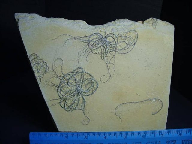 floating crinoid fossils