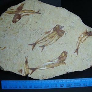 lebonese fossils