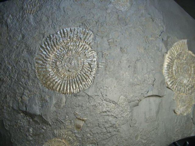 German Ammonites