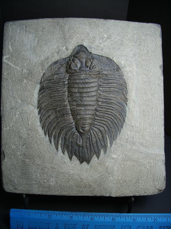 trilobites for sale