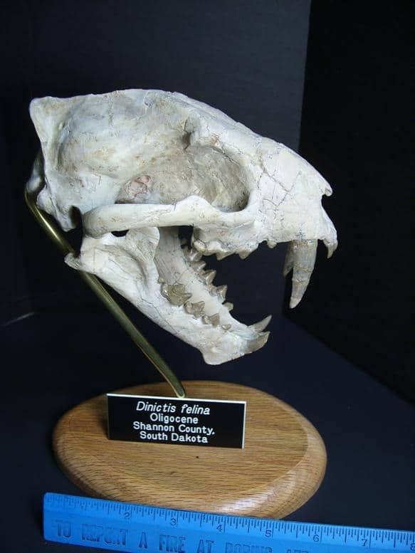 cat fossils