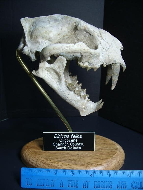 saber tooth cat fossils
