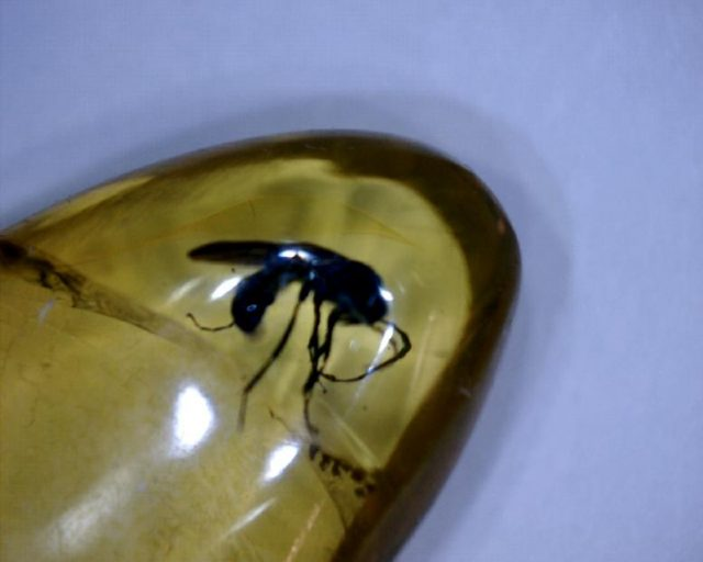 Dominican amber ant