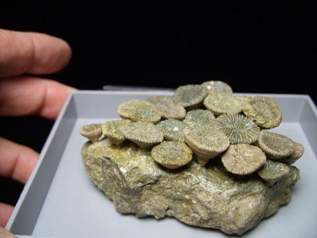 fossil corals