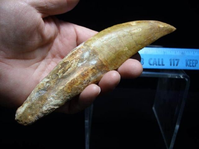 Dinosaur Tooth for Sale