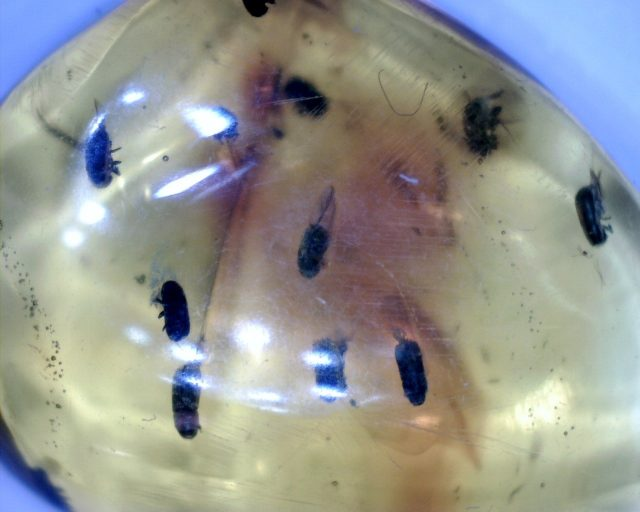 Amber Insects