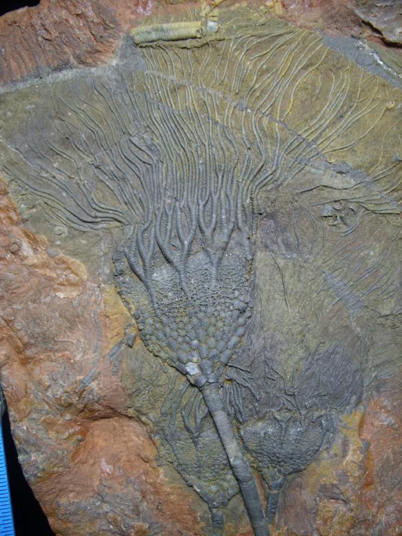 Morocco Crinoids