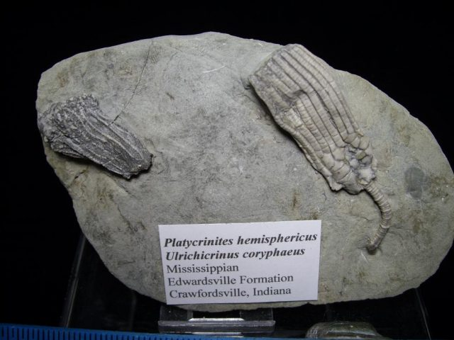 Crawfordsville Crinoid Fossils