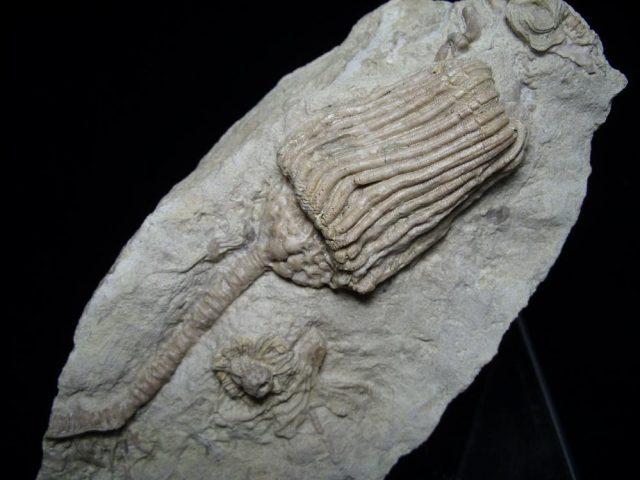 Fossil Crinoids