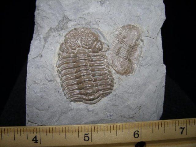 Eldredgeops Trilobites