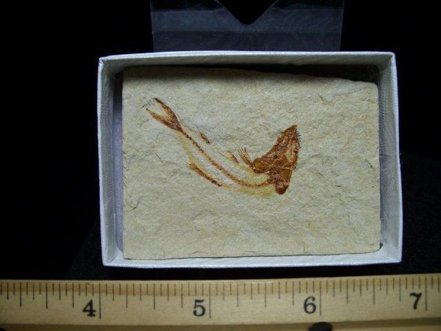 Lebonon fossil fish