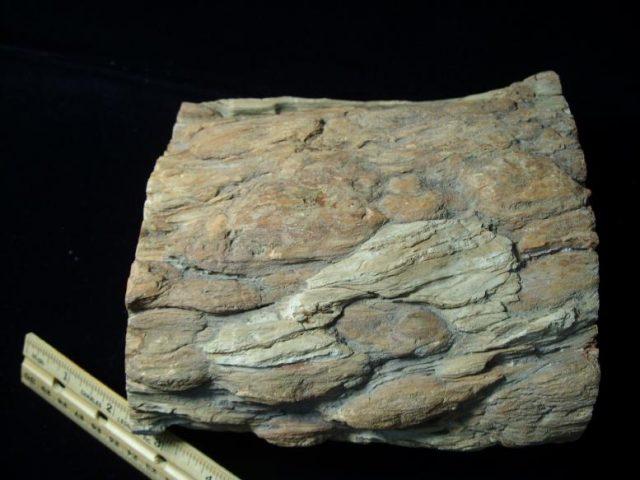 Araucaria Fossil Wood