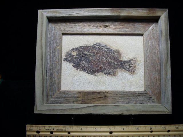 Fossil Priscacara Fish