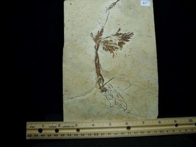 Santana Formation Fossils