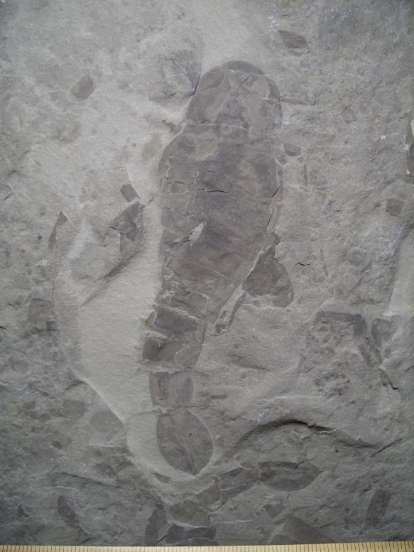 Pterygotus Eurypterid