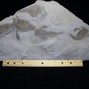 Eurypterids Fossils