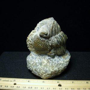 Phacops Trilobite Fossils