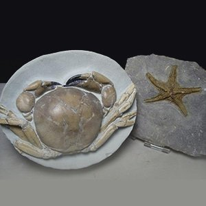 Crab Fossils for Sale