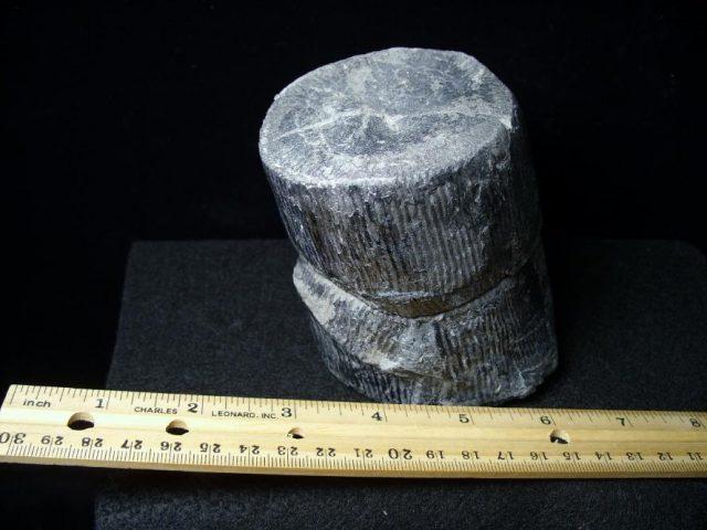 calamites fossils