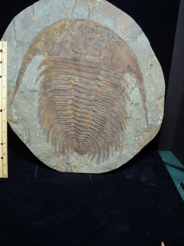 Paradoxides Trilobite