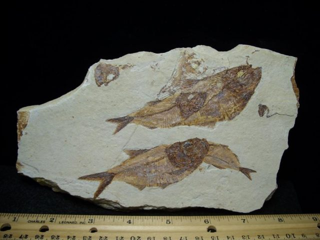 Lebanese Fossils for Sale