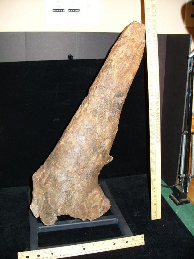 Triceratops Dinosaurs