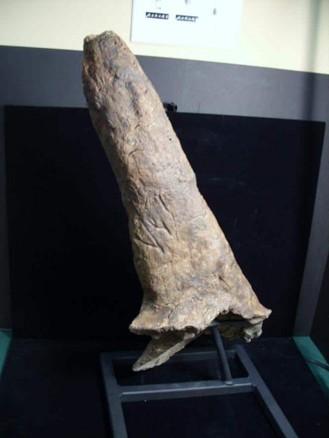 Triceratops Dinosaur Horn