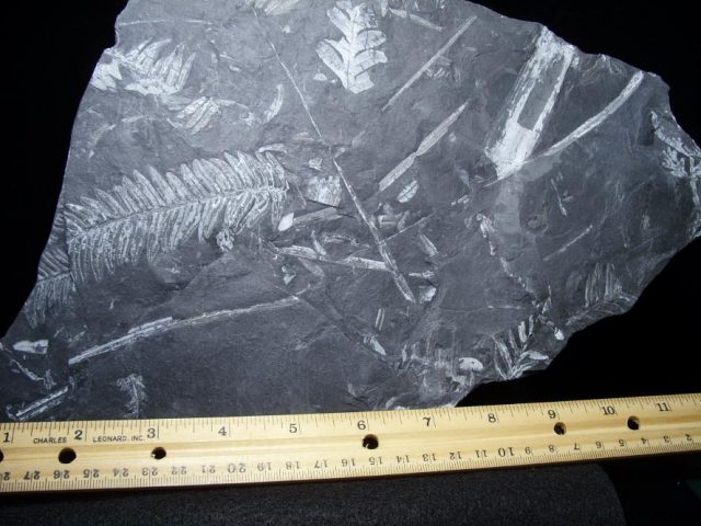 Pennsylvania Fossil Ferns