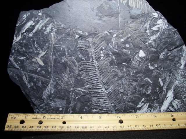 Pennsylvania fossils ferns