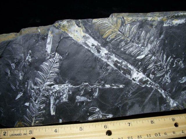 Pennsylvania Fossil Fern