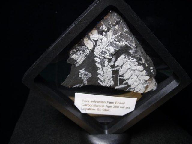 Pennsylvannia Fossil Ferns