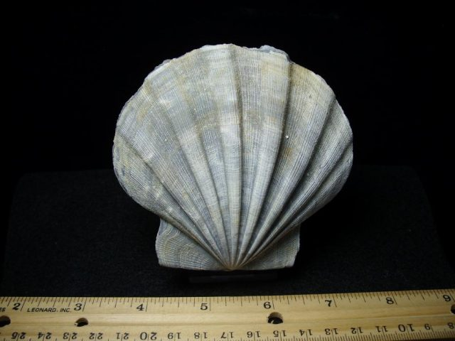 Fossil Clams
