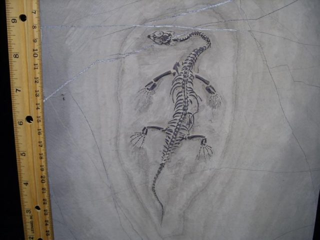 Permian Fossils