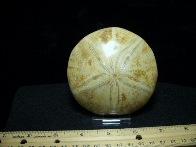 Fossil Echinoid