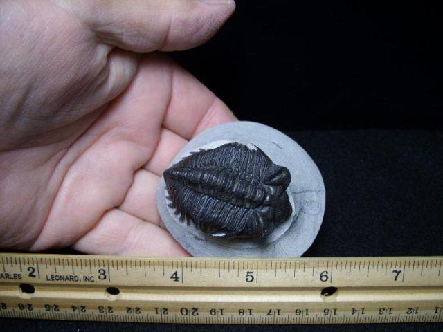 trilobite fossil dinosaurs