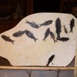 greenriver fossil fish