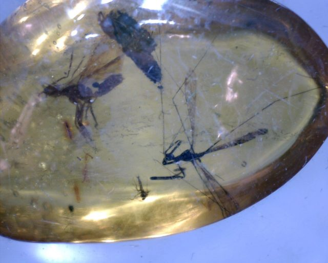 Insect fossils