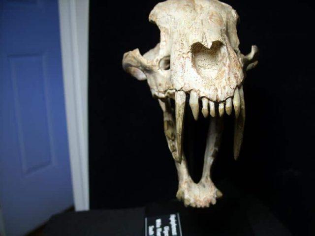 sabertooth cat fossils