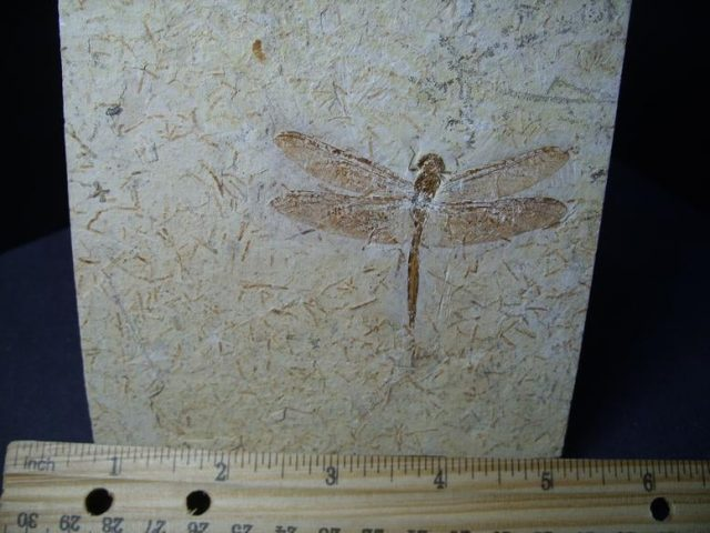 Fossil Dragonfly